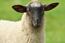 Close-up Of A Sheep's Head  On The Farm Meadow