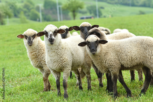 Photo sur Aluminium Sheep domestic sheep walks on a meadow and eats grass