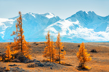 Snow-covered Mountains And Yellow Autumn Trees. View Of North-Chuya Ridge In Altai, Siberia, Russia