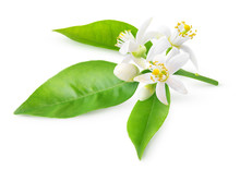 Isolated Orange Blossoms. Blooming Branch Of Orange Tree With Flowers And Leaves Isolated On White Background With Clipping Path