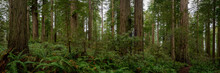 Trail Dwarfed By The Trees Pano
