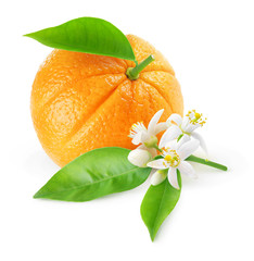 Fototapeta Owoce Isolated orange fruit and flowers. One fruit and branch with orange tree blossoms isolated on white background with clipping path
