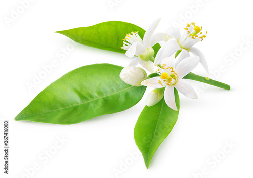 Fotografia Isolated orange blossoms