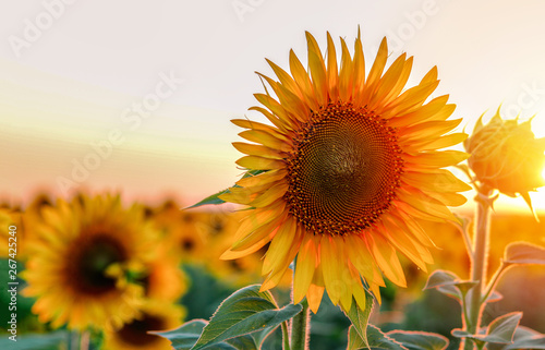 Close-up of beautiful sunflower at sunset. Copy space. Natural floral background