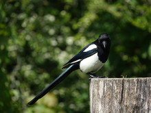 Magpie (Pica Pica) Perched On Top Of Post