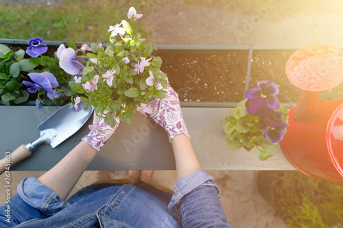 Gardeners hands planting flowers in pot with dirt or soil in container on terrace balcony garden Fototapeta
