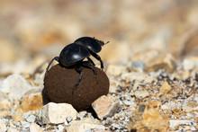 Dung Beetle In Safari Park