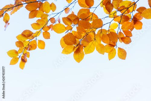 Fototapeta fall maple leaves obraz na płótnie