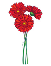 Bouquet Of Outline Three Gerbera Or Gerber Flower In Red Isolated On White Background.