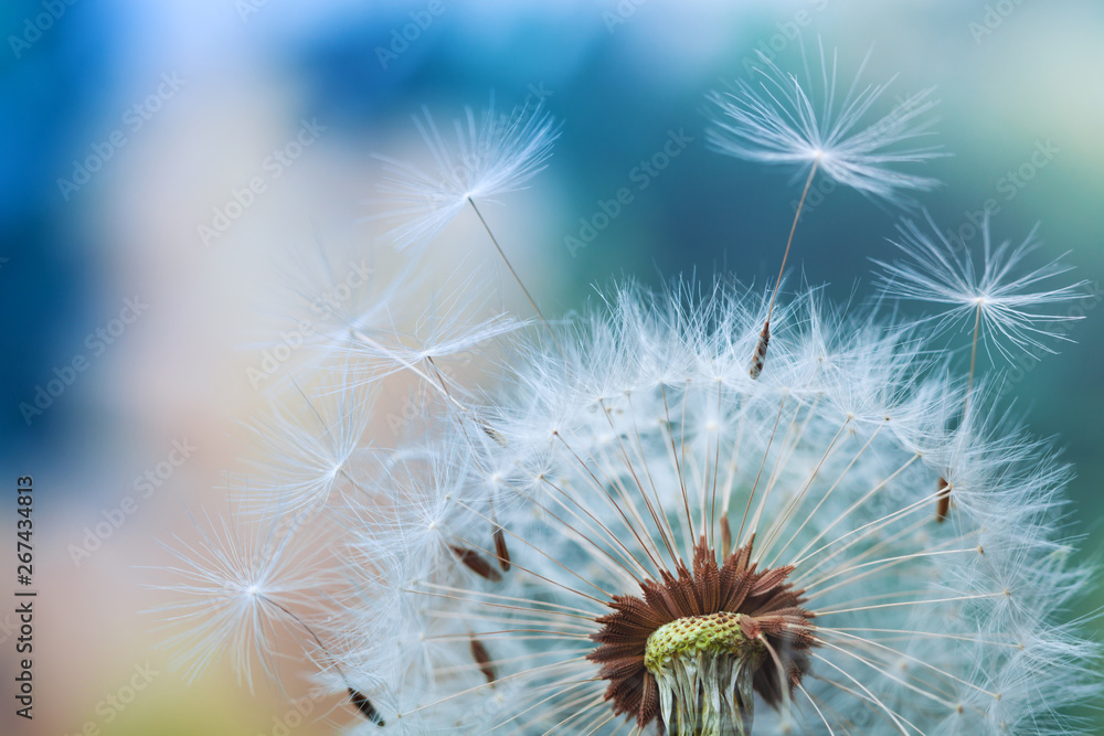 Fototapety, obrazy: Beautiful dandelion flower with flying feathers on colorful bokeh background. Macro shot of summer nature scene.