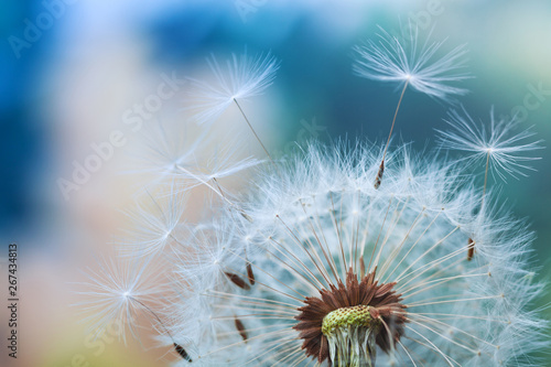 Spoed Foto op Canvas Paardenbloem Beautiful dandelion flower with flying feathers on colorful bokeh background. Macro shot of summer nature scene.