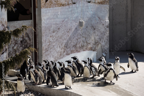 Leinwand Poster Colony of captive African Penguins lined up at feeding time