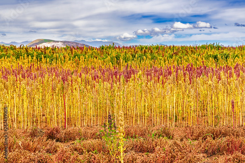 Photo Red and yellow quinoa field in the Andean highlands of Peru near Cusco, Peru
