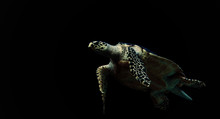 Sea Turtle On Black Background