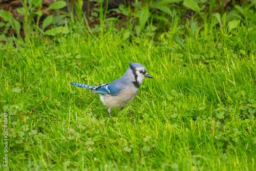 Blue jay sitting in grass Fototapet
