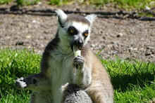 Cute Ring-tailed Lemur Eating At The Zoo