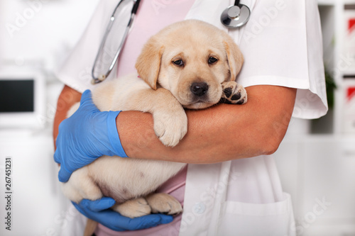 fototapeta na ścianę Cute labrador puppy dog sitting confortably in the arms of veterinary healthcare professional