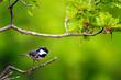 Leinwanddruck Bild - Forest and cute little bird. Green nature background. Bird: Coal Tit. Periparus ater.
