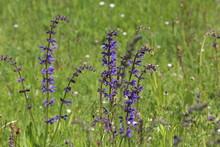 Beautiful Meadow Flowers. Flowering Meadow Sage, Salvia Pratensis