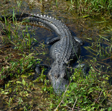 Alligator In The Wetlands Of S...