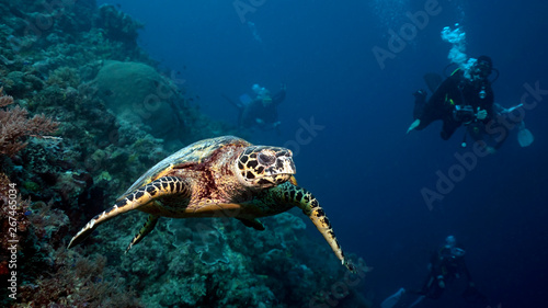 Cadres-photo bureau Tortue Hawksbill sea turtle in Tubbataha. The Tubbataha Reef Marine Park is UNESCO World Heritage Site in the middle of Sulu Sea, Philippines.