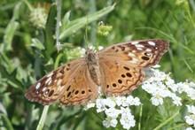 Macro Shot Of A Brown Butterfl...