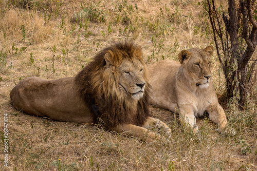 Fototapety, obrazy: a pair of lions; a lion and a lioness rest under a tree