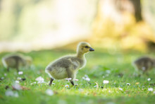 Baby Canada Goose Walking In T...
