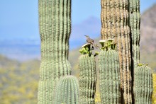 Curve-Billed Thrasher Blooming...