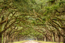Tunnel Of Live Oak Trees In Savannah, Georgia