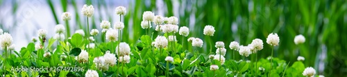 Panorama view of white clover flowers on green color bokeh background - 267492896