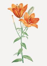 Orange Bulbous Lily