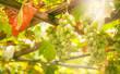 Leinwandbild Motiv Green grapes on the vine, white wine variety in the vineyard, summer natural background, selective focus
