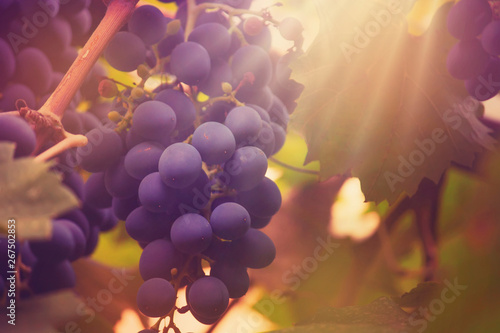 Blue grapes on the vine, wine variety in the vineyard, autumn natural background Canvas