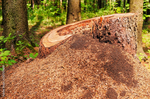 Photo of a picturesque anthill on a stump in the sunlight in the green forest, spring time Wallpaper Mural