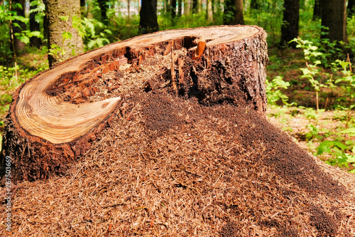 Photo Photo of a picturesque anthill on a stump in the sunlight in the green forest, spring time