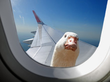 Goose Sitting On The Wing And ...