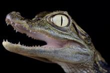 Spectacled Caiman (Caiman Crocodilus Chiapasius)