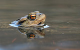 Portrait of a beautiful toad with head above the water surface - 267518815