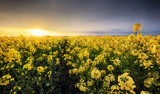 Canola yellow field, landscape on a background of clouds at sunset, Rapeseed - 267519030