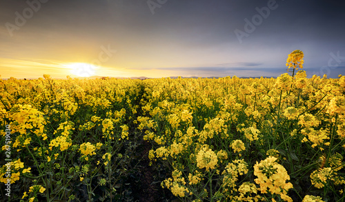 Fotomural  Canola yellow field, landscape on a background of clouds at sunset, Rapeseed
