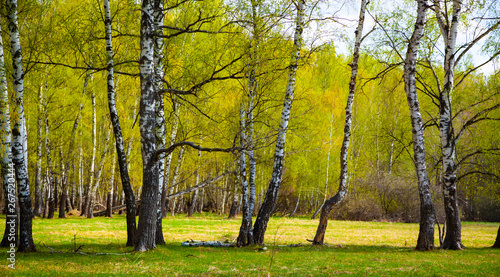 Autocollant pour porte Bosquet de bouleaux Birch grove on a sunny day.
