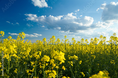 obraz lub plakat Beautiful rapeseed flowers with dark blue sky with clouds