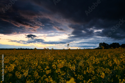 obraz lub plakat Rapeseed flowers at evening. Beautiful sunset with dark blue sky, bright sunlight and clouds.