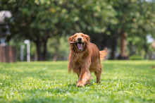 Golden Retriever Dog Playing With Branches In The Grass