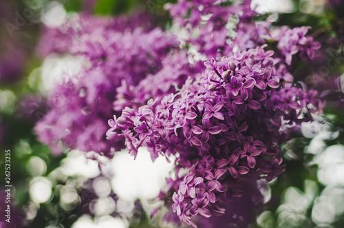 Obraz na plátně Spring lilac flowers