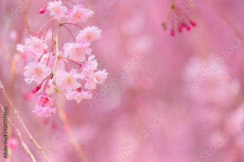 写真素材:しだれ桜 さくら サクラ コピースペース 春 花 高見の郷 奈良県 2019年4月