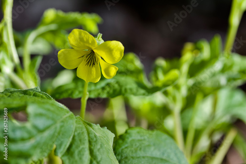 Macro abstract view of a solitary downy yellow violet wildflower growing in its native woodland invironment