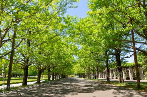 昭和記念公園の新緑の銀杏並木