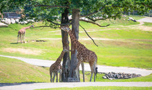 Group Of Giraffes Grazing In The Park